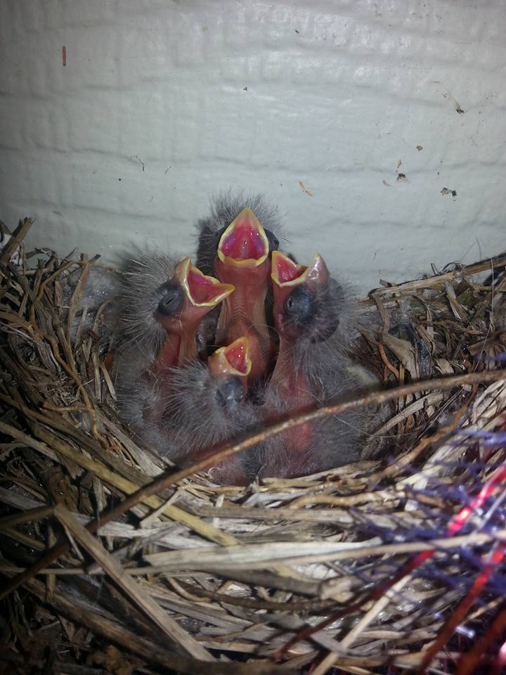 Spring is Here!  Baby house sparrows hatched in a wreath on my front porch!