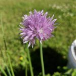 Chives are in Bloom