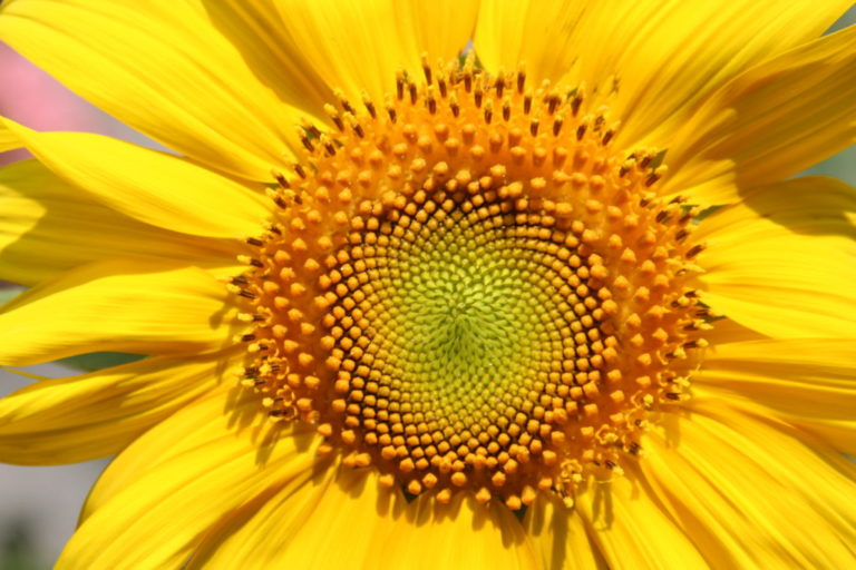 Sunday Snaps: Fibonacci Sequence in Sunflowers